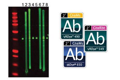 Antibodies & Conjugates