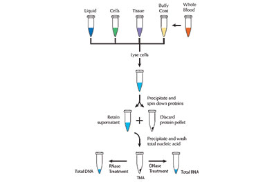 Protein Extraction & Purification