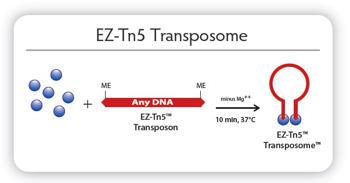 Transposon Mutagenesis