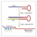 cDNA Synthesis & RT-PCR